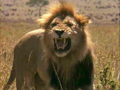 african lion habitat. african lion